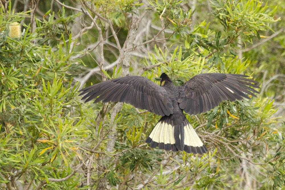 Yellow-tailed Black Cockatoo.jpg